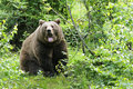 Wild brown bear forest Royalty Free Stock Photography