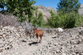 Wild brown foal baby horse mountain valley path way Royalty Free Stock Photo
