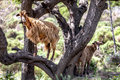Wild brown goat in a tree on crete greece Stock Image