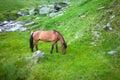 Wild brown horse feeding on Fagaras mountain Royalty Free Stock Photo