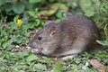 Wild Brown Rat Royalty Free Stock Photo