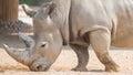 Wild brown rhinoceros Royalty Free Stock Photo