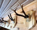 Wild buck horns on wooden wall Stock Photography
