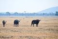Wild buffalo in kenya africa lake nakuru Royalty Free Stock Photo