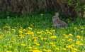 Wild Bunny in Abandoned Garden full with dandelions Royalty Free Stock Photo