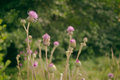 Wild burdock Royalty Free Stock Photo