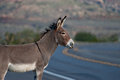 Wild Burro Stock Photo