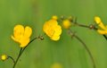 Wild buttercups Stock Images