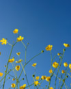 Wild buttercups blue sky yellow reach up to the clear summer Royalty Free Stock Images