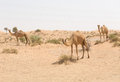 Wild camel in the hot dry middle eastern desert, dubai, uae Royalty Free Stock Photo