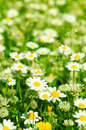 Wild camomile flowers Royalty Free Stock Photography
