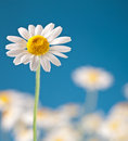 Wild camomiles on a blue sky. Royalty Free Stock Photo