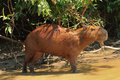 Wild capybara in the Amazon area in Bolivia Royalty Free Stock Photo