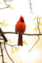 Wild Cardinal Perched On Branch Stock Images