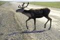 Wild Caribou herd Royalty Free Stock Photo