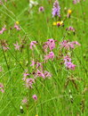 Wild carnations in tall greeen grass meadow or field of and Stock Photo