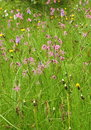 Wild carnations in tall meadow grass pink wildflowers green Royalty Free Stock Photos