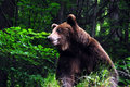 Wild carpathian brown bear Royalty Free Stock Photos