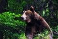 Wild carpathian brown bear Royalty Free Stock Photos
