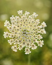 Wild carrot flower. Royalty Free Stock Photography