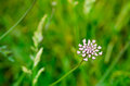 Wild carrot flower of a Royalty Free Stock Images