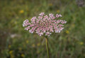 Wild carrot inflorescence Royalty Free Stock Photo
