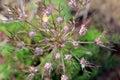 Wild carrot unfurling its flower bud Royalty Free Stock Image