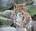 Wild cat Stock Images