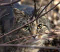 Wild Cat Royalty Free Stock Photo