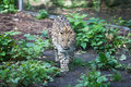 Wild cat. Amur leopard in open-air cage Royalty Free Stock Photo