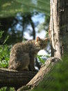 Wild cat an image of a in the zoo park of poppi tuscany italy Stock Photo