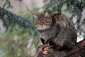 A wild cat male stand on a tree in a forest of maramures mountains dead deep natural reserve the wildcat felis silvestris is Royalty Free Stock Photos