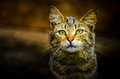 Wild cat portrait of a sad Royalty Free Stock Images