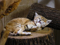 Wild cat resting and relaxing Royalty Free Stock Photos