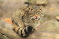 Wild cat the sitting on the wood trunk Royalty Free Stock Photo
