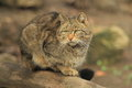 Wild cat the sitting on the wood trunk Royalty Free Stock Photography