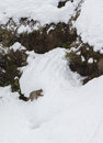 Wild cat walking in deep snow a felis silvestris takes a stroll along it s territory at the picos de europa national park northern Royalty Free Stock Image