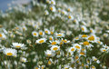 Wild chamomile, daisy flowers growing on green meadow. Royalty Free Stock Photo