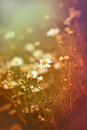 Wild chamomile daisy meadow of Stock Image