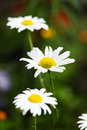 Wild chamomile on a meadow Stock Photos