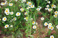 Wild chamomile on a meadow close up Stock Images