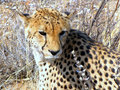 Wild cheetah Royalty Free Stock Photo