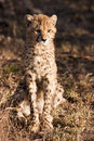 Wild Cheetah Cub Stock Photography