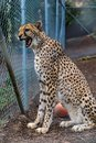 Wild cheetah in a cage at a sanctuary Royalty Free Stock Photo