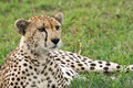 Wild cheetah portrait in grumeti reserves tanzania Stock Photos