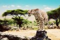 A wild cheetah about to attack safari in tanzania hunt sitting on dead tree serengeti africa Stock Images