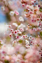 Wild cherry Royalty Free Stock Images