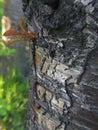 Wild cherry beautiful bark Royalty Free Stock Photo