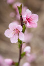 Wild cherry in blossom the pink flower of spring garden Royalty Free Stock Image