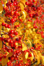 Wild cherry in fall Stock Photo